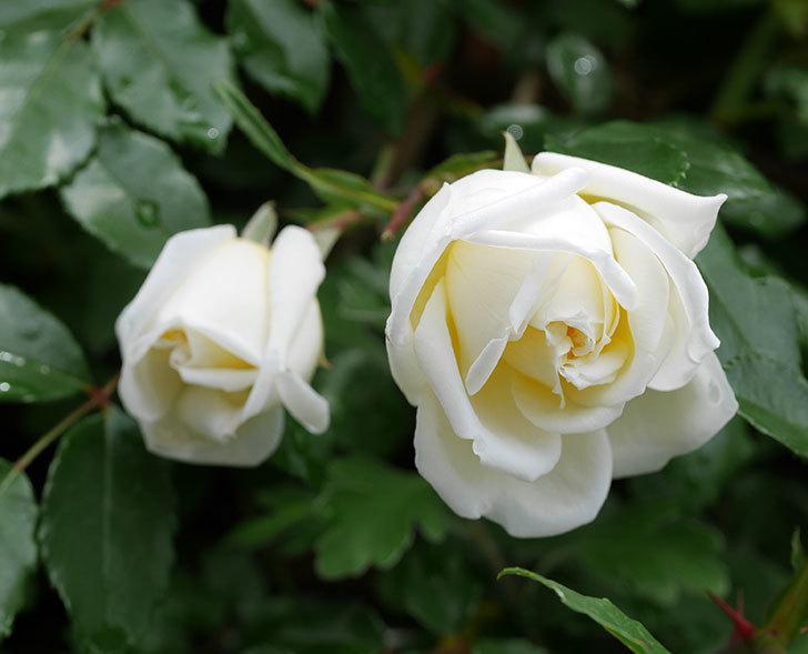 アルベリック・バルビエ(ツルバラ)の花がたくさん咲いた。2018年-39.jpg