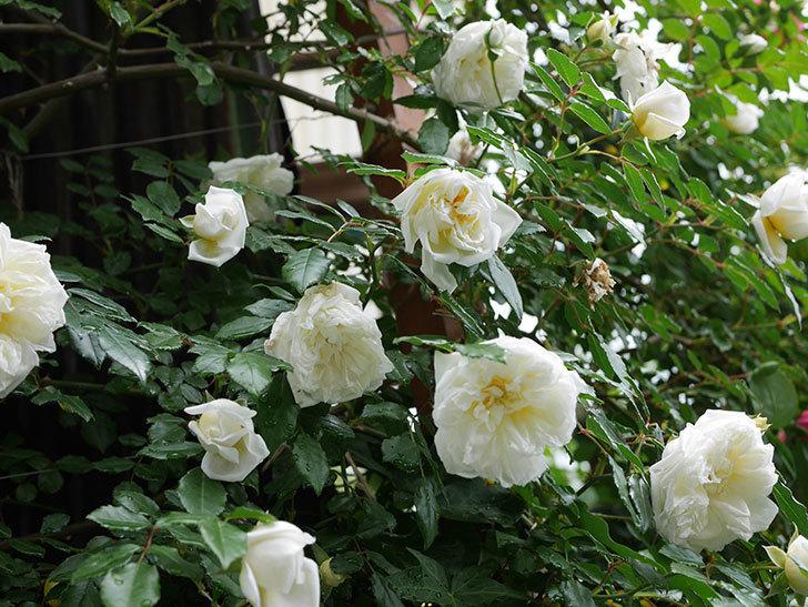 アルベリック・バルビエ(ツルバラ)の花がたくさん咲いた。2018年-40.jpg