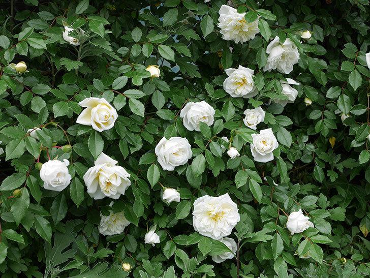 アルベリック・バルビエ(ツルバラ)の花がたくさん咲いた。2018年-41.jpg