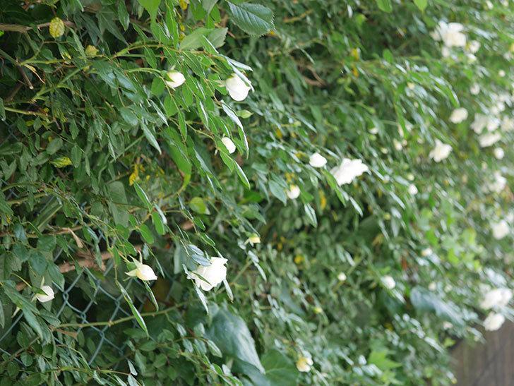 アルベリック・バルビエ(ツルバラ)の花がたくさん咲いた。2018年-5.jpg