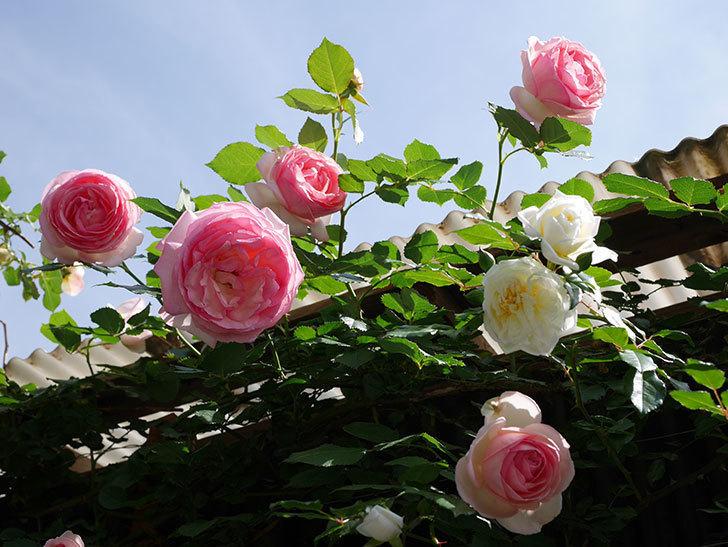 アルベリック・バルビエ(ツルバラ)の花がたくさん咲いた。2018年-6.jpg
