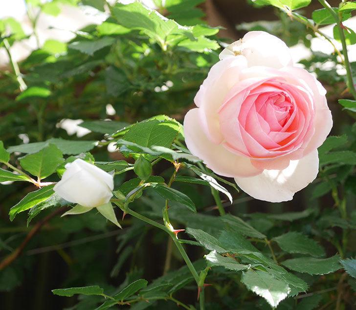アルベリック・バルビエ(ツルバラ)の花がたくさん咲いた。2018年-7.jpg