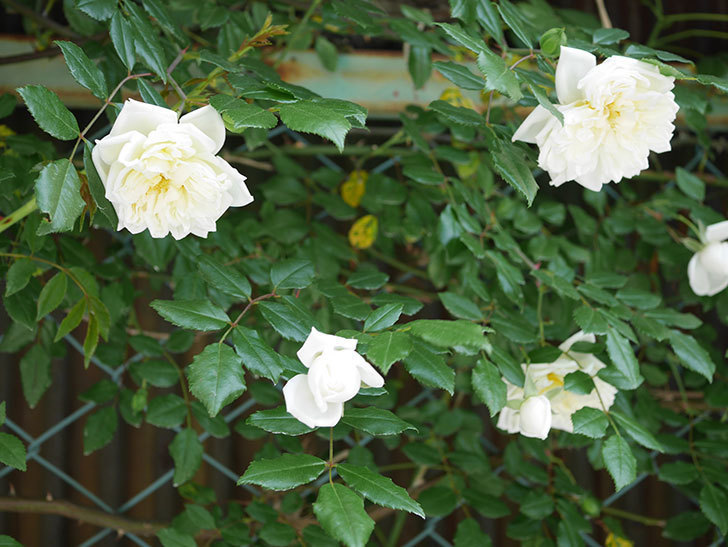 アルベリック・バルビエ(ツルバラ)の花がたくさん咲いた。2018年-8.jpg
