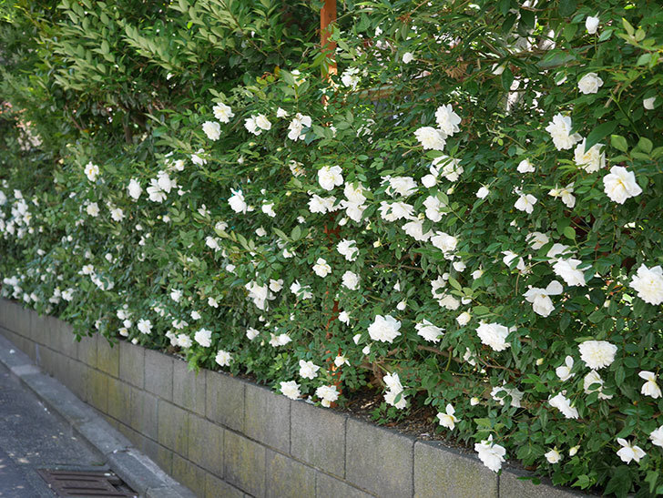 アルベリック・バルビエ(ツルバラ)の花がたくさん咲いた。2019年-1.jpg