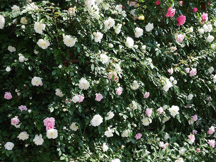 アルベリック・バルビエ(ツルバラ)の花がたくさん咲いた。2019年-10.jpg