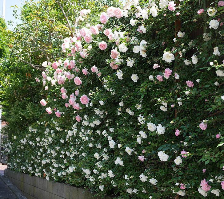 アルベリック・バルビエ(ツルバラ)の花がたくさん咲いた。2019年-11.jpg