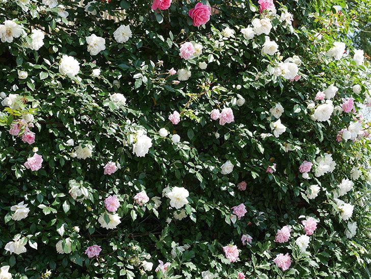 アルベリック・バルビエ(ツルバラ)の花がたくさん咲いた。2019年-12.jpg