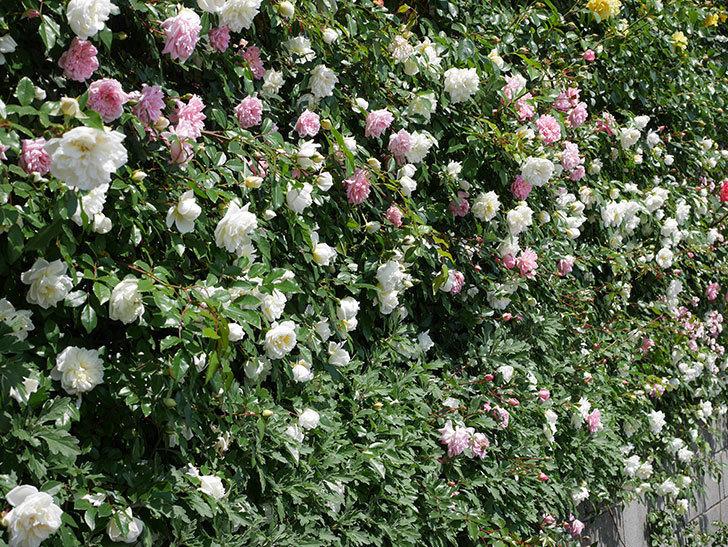 アルベリック・バルビエ(ツルバラ)の花がたくさん咲いた。2019年-13.jpg