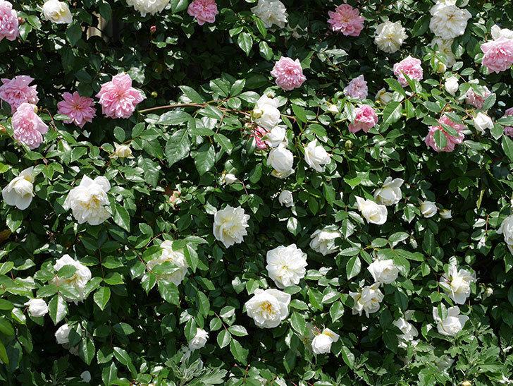 アルベリック・バルビエ(ツルバラ)の花がたくさん咲いた。2019年-14.jpg