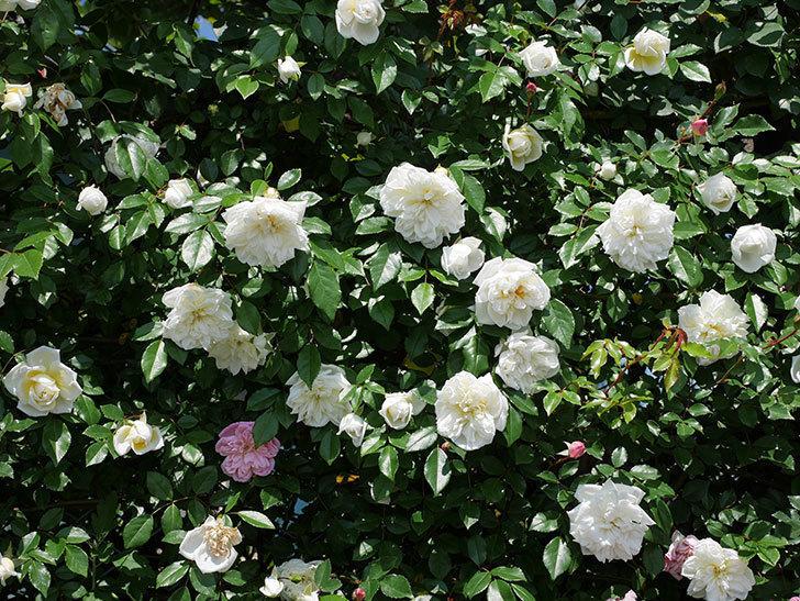 アルベリック・バルビエ(ツルバラ)の花がたくさん咲いた。2019年-15.jpg