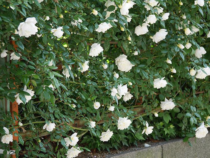 アルベリック・バルビエ(ツルバラ)の花がたくさん咲いた。2019年-16.jpg