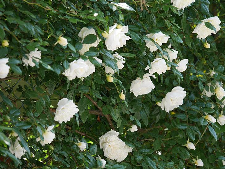 アルベリック・バルビエ(ツルバラ)の花がたくさん咲いた。2019年-17.jpg