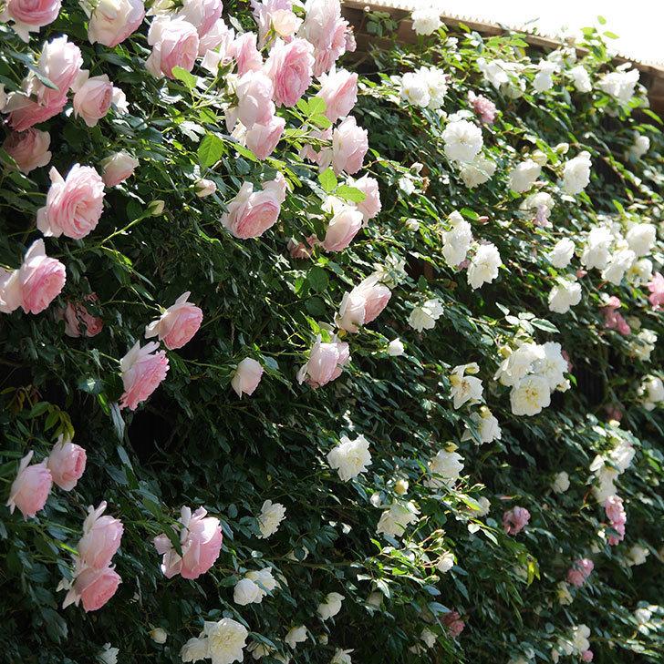 アルベリック・バルビエ(ツルバラ)の花がたくさん咲いた。2019年-18.jpg