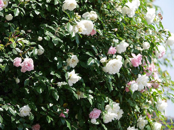 アルベリック・バルビエ(ツルバラ)の花がたくさん咲いた。2019年-19.jpg