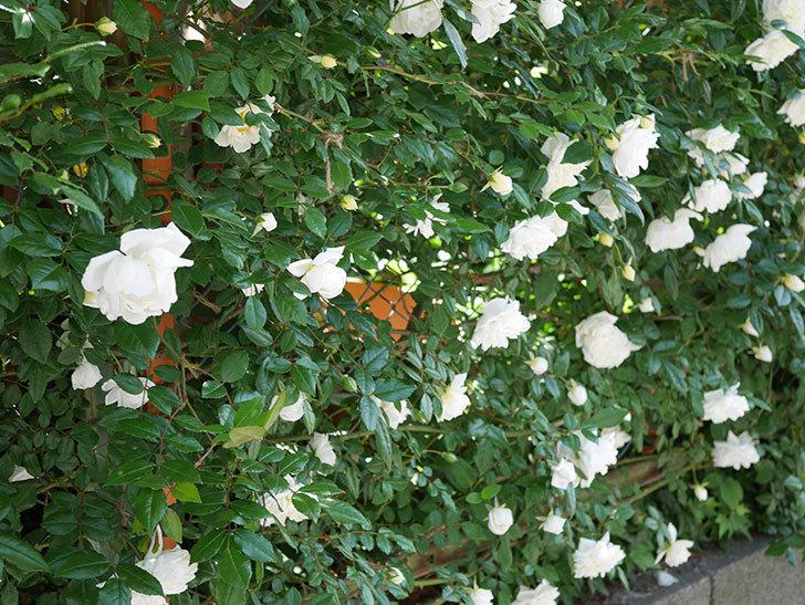 アルベリック・バルビエ(ツルバラ)の花がたくさん咲いた。2019年-2.jpg