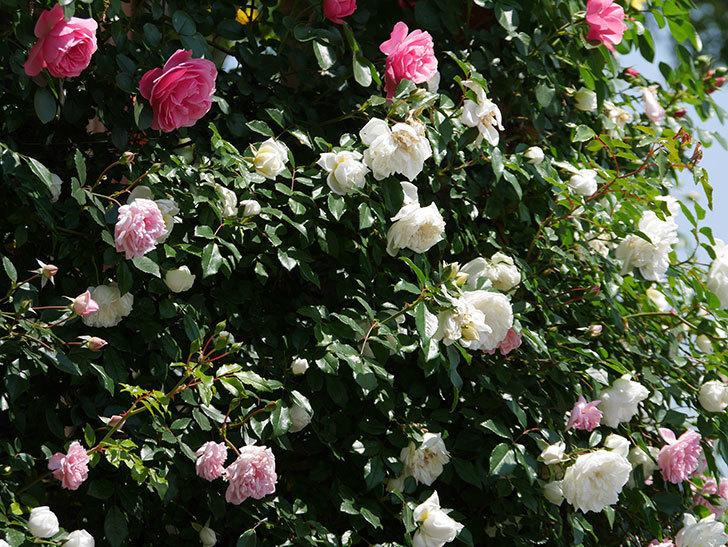 アルベリック・バルビエ(ツルバラ)の花がたくさん咲いた。2019年-20.jpg