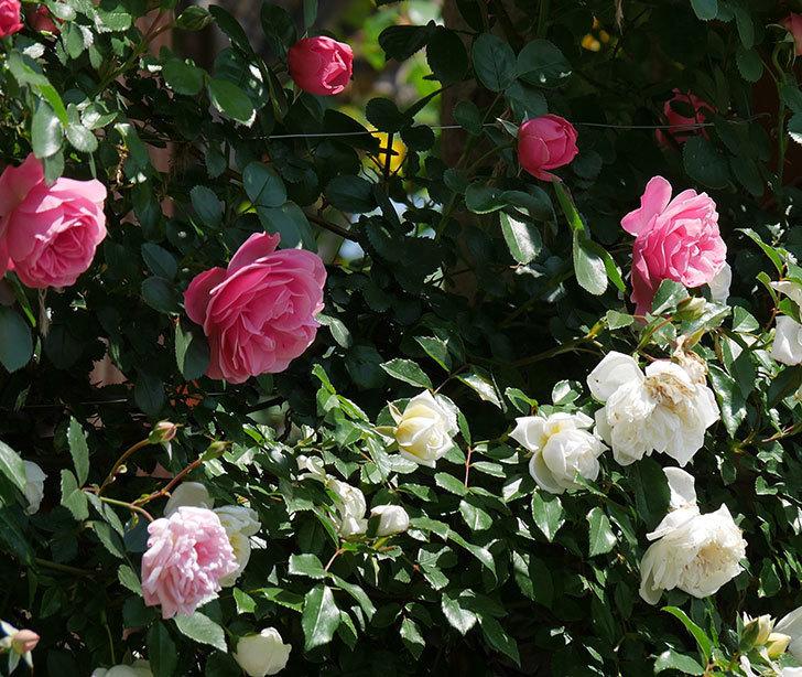 アルベリック・バルビエ(ツルバラ)の花がたくさん咲いた。2019年-21.jpg