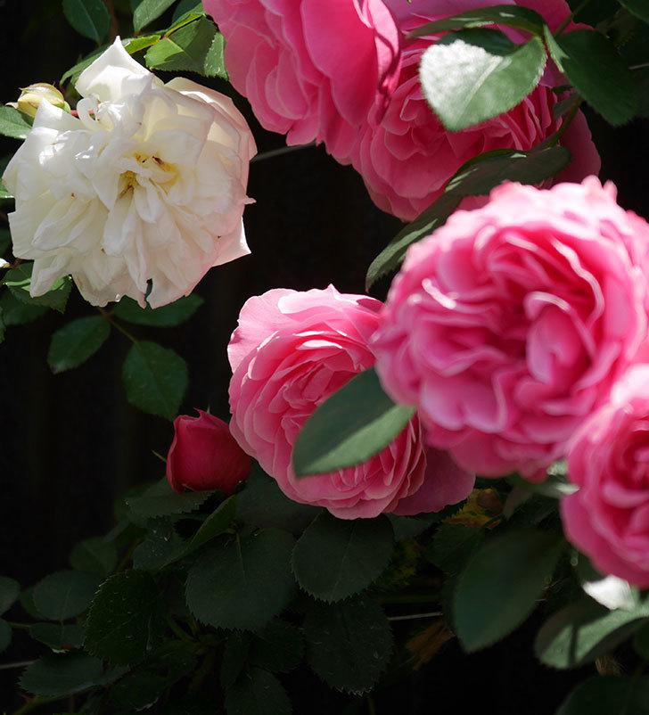 アルベリック・バルビエ(ツルバラ)の花がたくさん咲いた。2019年-22.jpg