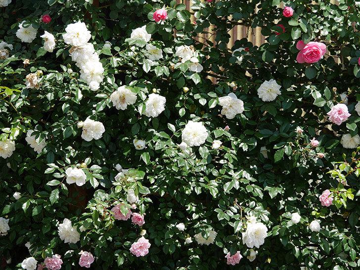 アルベリック・バルビエ(ツルバラ)の花がたくさん咲いた。2019年-23.jpg