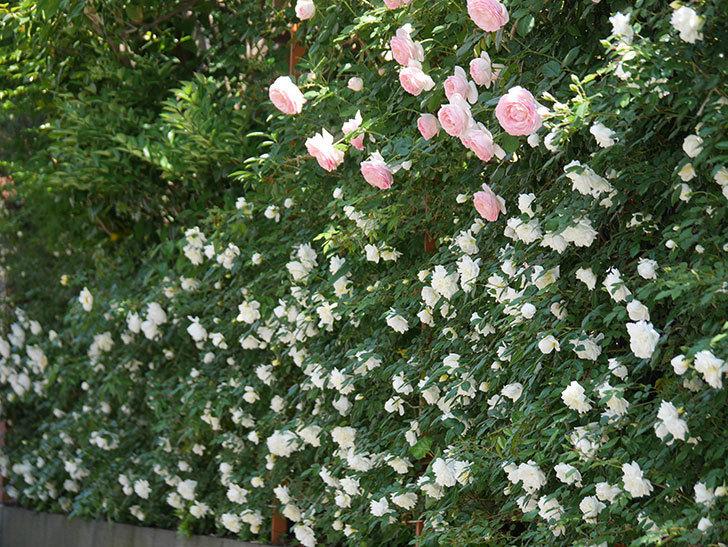 アルベリック・バルビエ(ツルバラ)の花がたくさん咲いた。2019年-24.jpg