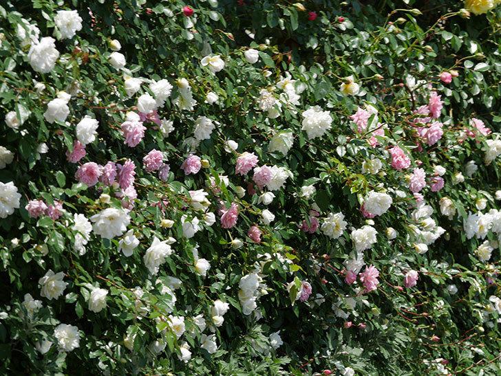アルベリック・バルビエ(ツルバラ)の花がたくさん咲いた。2019年-26.jpg