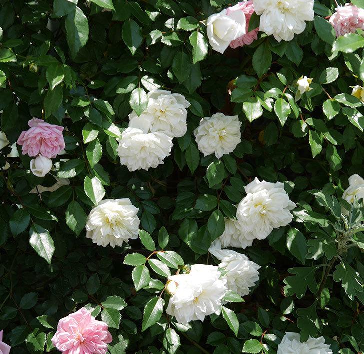 アルベリック・バルビエ(ツルバラ)の花がたくさん咲いた。2019年-27.jpg