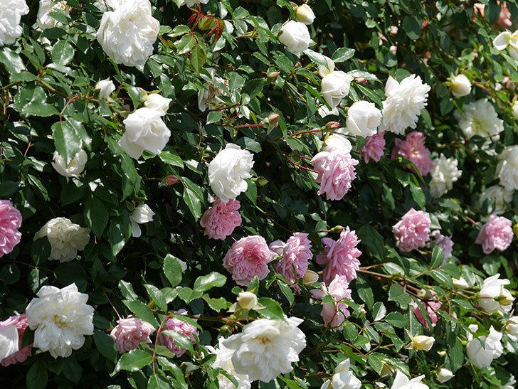 アルベリック・バルビエ(ツルバラ)の花がたくさん咲いた。2019年-28.jpg