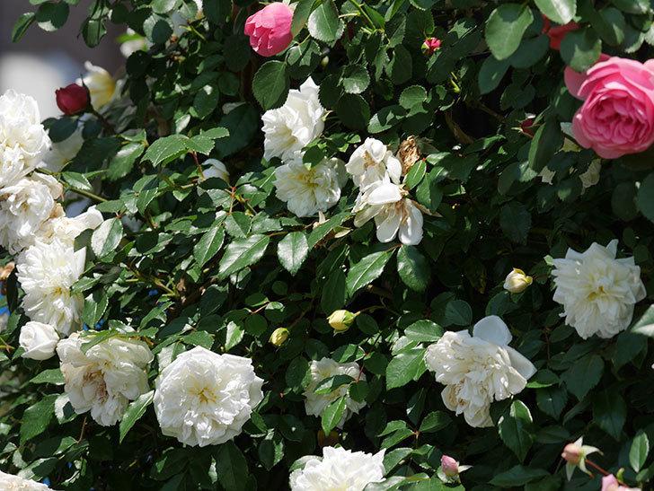 アルベリック・バルビエ(ツルバラ)の花がたくさん咲いた。2019年-29.jpg