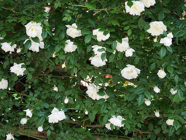 アルベリック・バルビエ(ツルバラ)の花がたくさん咲いた。2019年-3.jpg
