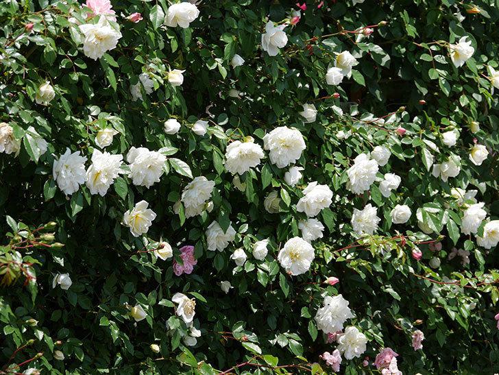 アルベリック・バルビエ(ツルバラ)の花がたくさん咲いた。2019年-30.jpg