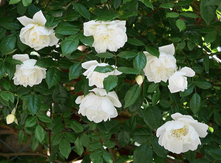 アルベリック・バルビエ(ツルバラ)の花がたくさん咲いた。2019年-4.jpg