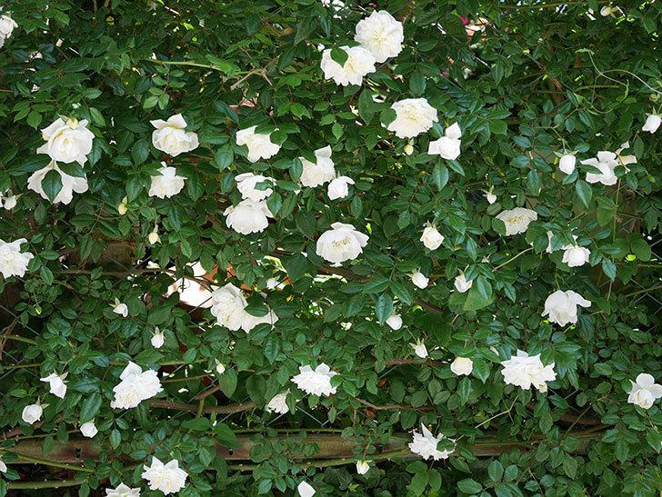 アルベリック・バルビエ(ツルバラ)の花がたくさん咲いた。2019年-5.jpg