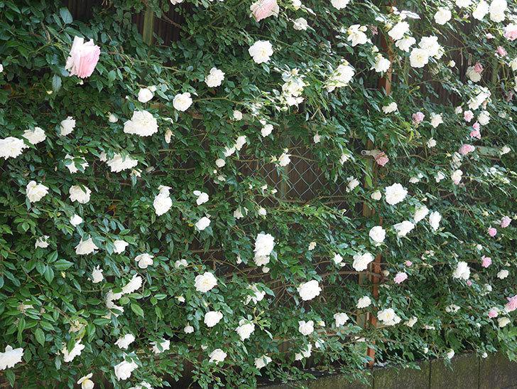 アルベリック・バルビエ(ツルバラ)の花がたくさん咲いた。2019年-6.jpg