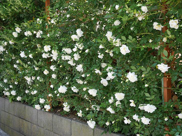 アルベリック・バルビエ(ツルバラ)の花がたくさん咲いた。2019年-7.jpg