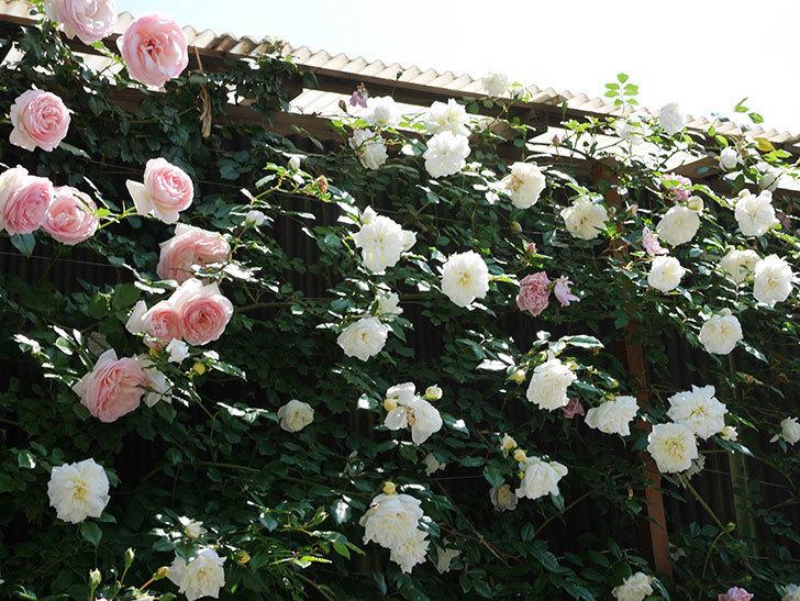 アルベリック・バルビエ(ツルバラ)の花がたくさん咲いた。2019年-8.jpg