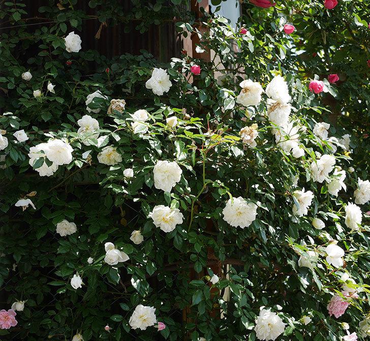 アルベリック・バルビエ(ツルバラ)の花がたくさん咲いた。2019年-9.jpg