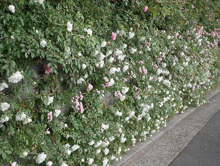 アルベリック・バルビエ(ツルバラ)の花がたくさん咲いた。2020年-1.jpg