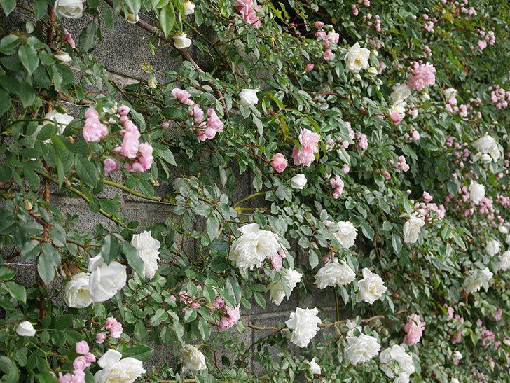 アルベリック・バルビエ(ツルバラ)の花がたくさん咲いた。2020年-10.jpg
