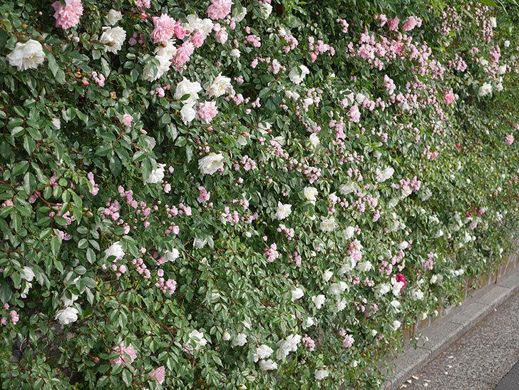 アルベリック・バルビエ(ツルバラ)の花がたくさん咲いた。2020年-11.jpg