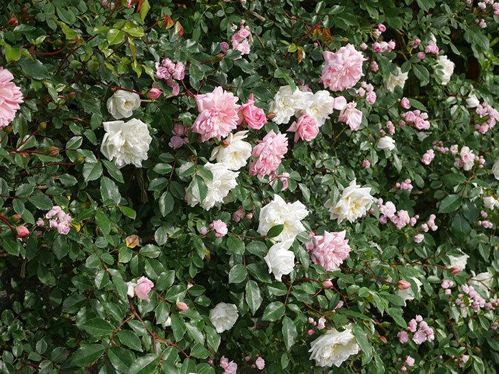 アルベリック・バルビエ(ツルバラ)の花がたくさん咲いた。2020年-12.jpg