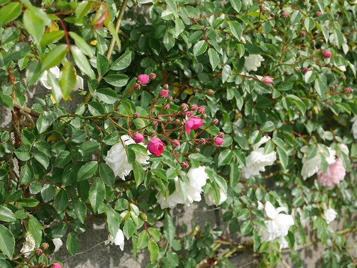アルベリック・バルビエ(ツルバラ)の花がたくさん咲いた。2020年-13.jpg