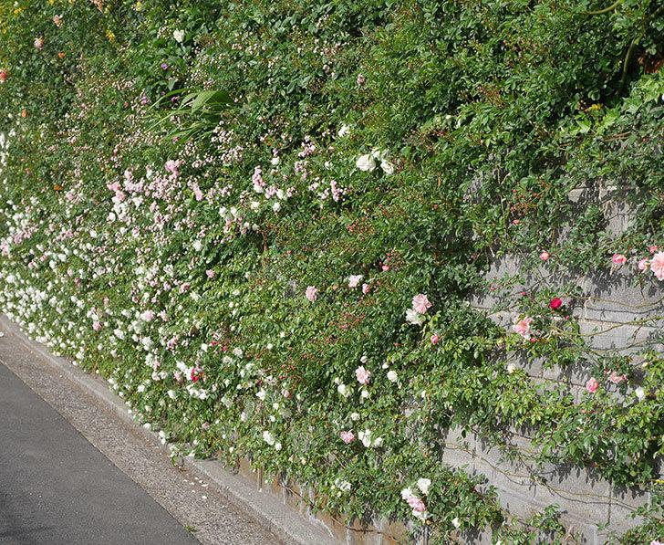 アルベリック・バルビエ(ツルバラ)の花がたくさん咲いた。2020年-14.jpg