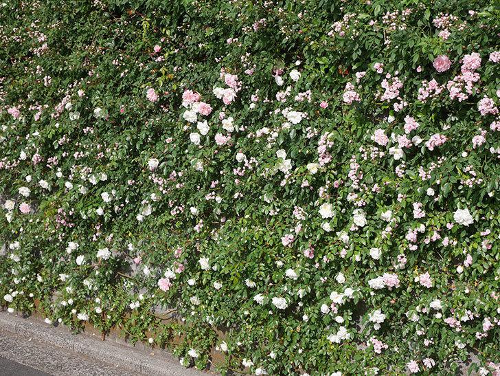 アルベリック・バルビエ(ツルバラ)の花がたくさん咲いた。2020年-15.jpg