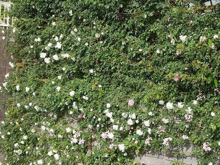 アルベリック・バルビエ(ツルバラ)の花がたくさん咲いた。2020年-16.jpg