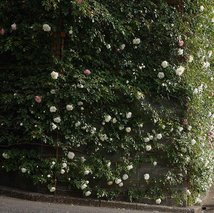 アルベリック・バルビエ(ツルバラ)の花がたくさん咲いた。2020年-17.jpg