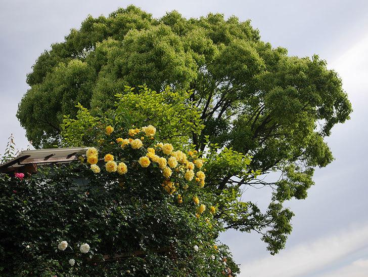 アルベリック・バルビエ(ツルバラ)の花がたくさん咲いた。2020年-18.jpg