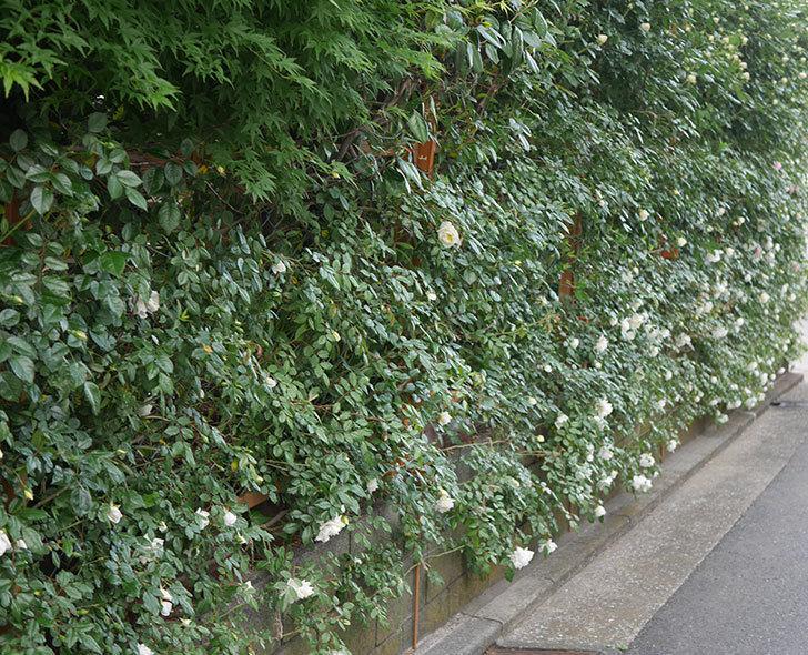 アルベリック・バルビエ(ツルバラ)の花がたくさん咲いた。2020年-19.jpg
