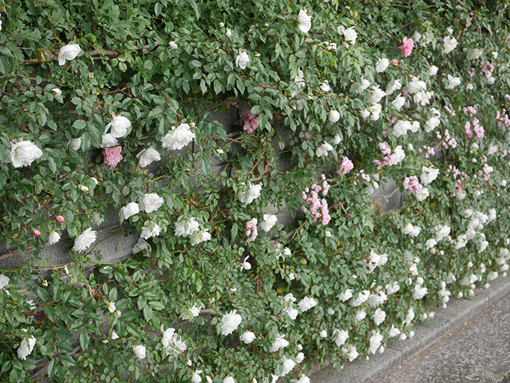 アルベリック・バルビエ(ツルバラ)の花がたくさん咲いた。2020年-2.jpg