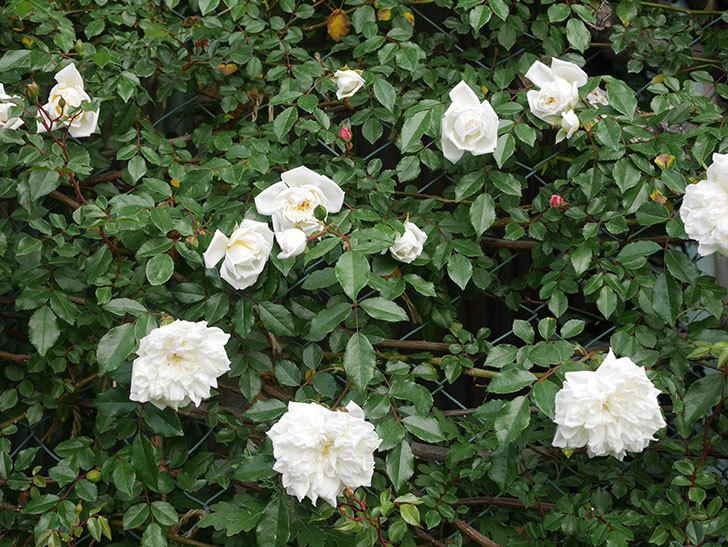 アルベリック・バルビエ(ツルバラ)の花がたくさん咲いた。2020年-3.jpg