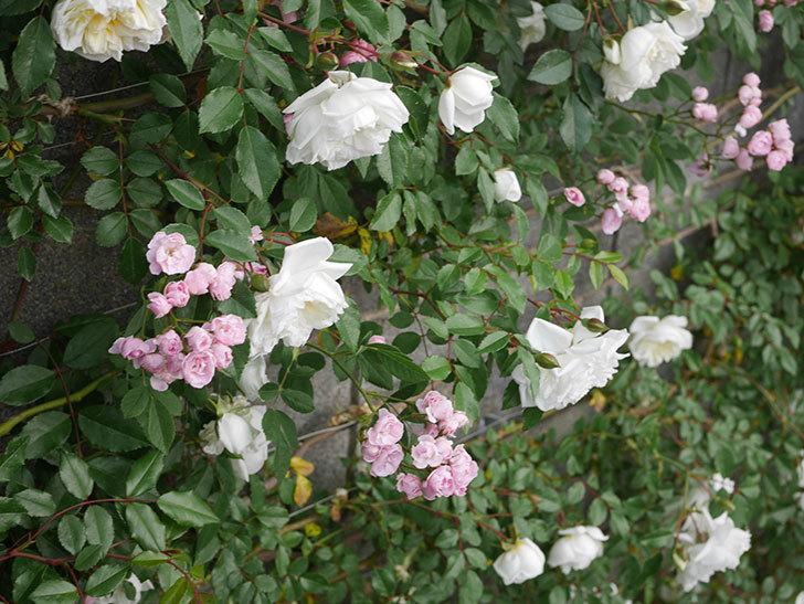 アルベリック・バルビエ(ツルバラ)の花がたくさん咲いた。2020年-4.jpg